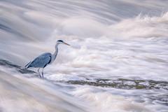Grey Heron (redape99_) Tags: nikon animal bird birdlife cork ireland nature outdoor river telephoto water fermoy countycork