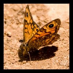 Dressed in yellow...(explore) (Raquel Borrrero) Tags: butterfly yellow insect arena sand mariposa naturaleza naturephotography natural natura nature