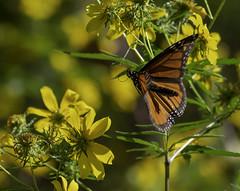 MonarchButterfly_SAF7705-1 (sara97) Tags: danausplexippus butterfly copyright©2018saraannefinke endangered insect missouri monarch monarchbutterfly nature photobysaraannefinke pollinator saintlouis inflight flight
