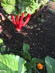 Ruby chard (goforchris) Tags: edinburgh rbge botanicalgardens autumn colours flowers vegetables experimental