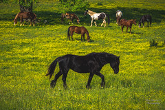 """He Stands Alone (Ron Harbin Photography) Tags: landscape outdoor 70200mm d750 nikon copyright color yellow black green tree trees leaves leaf lightroom diffused light sunshine shade natural depth field pictures spring summer flower grass escape wonderland """"natural light"""" photographer golden hour travel sun cades cove great smokey mountains national park gsmnp smoky horse horses f28"""
