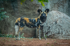 Painted Dog (JKmedia) Tags: painted dog chesterzoo boultonphotography 2018 sonyrx10iii