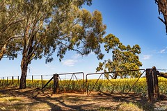That Fence Again (red stilletto) Tags: northeastvictoria dookie spring canola farm farms