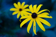 Black-eyed Susans in Autumn (imageClear) Tags: flowers gold yellow beauty blossoms fall autumn closeup nature blue lovely aperture nikon d500 35mmf18 imageclear flickr photostream