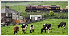 Moo-ving rocks (david.hayes77) Tags: 6h22 2014 ews dbcargo buxton derbyshire derbys harperhill limestome rock freight cargo cattle herd cows stonewall countryside livetsock panorama quarry