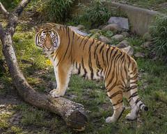 National Zoo Tiger (jtgfoto) Tags: approved zoo nationalzoo washingtondc washington nature animal sonyalpha sonyimages park smithsonian smithsoniannationalzoologicalpark woodleypark tiger bigcat log