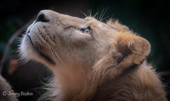 Young Male (JKmedia) Tags: lion pantheraleopersica paigntonzoo boultonphotography bigcats feline zoo captivity profile n15c male