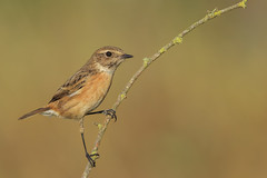 """Miss stonechat (""""CT"""") Tags: bokeh background bird nature wild"""
