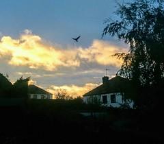 Freedom. (sheffchris) Tags: sunset bird flying sheffield sky pigeon