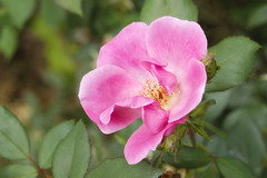 Simple Glow (Modkuse) Tags: rose simplerose flower natural nature art artphotography fineartphotography fineart fujifilm fujifilmxt2 xt2 xf1855mmf284rlmois fujinon fujinonxf1855mmf284rlmois garden rosegarden pinkrose