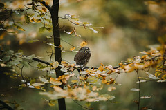 My new buddy (desomnis) Tags: sperlingskauz forest woods wood woodland nature wildlife bird austria autumn autumnal autumncolors autumnfoliage wienerwald viennawoods branches glaucidiumpasserinum eurasianpygmyowl desomnis 135mm canon135mmf20 canon135mm canonef135mmf2 canonef135mmf2l 5d canon5dmarkiv canon5d canon bokeh dof depthoffield