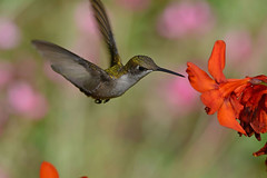 Ruby-throated Hummingbird (av8s) Tags: rubythroatedhummingbird hummingbird birds crocosmia flower nature wildlife photography nikon d7100 sigma 120400mm pennsylvania pa