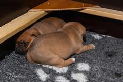 C00A9957.jpg (pka78-2) Tags: pentu rölli puppy röllivuoren staffie hulda staffi staffodshirebullterrier hpentue pennut
