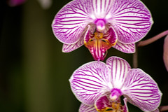 DSC_4933 (michaellevi69) Tags: fiori macro