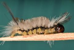 15 mm banded tussock moth caterpillar (ophis) Tags: lepidoptera noctuoidea erebidae arctiinae arctiini phaegopterina halysidota halysidotatessellaris bandedtussockmoth caterpillar