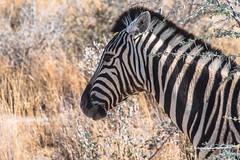 Zèbre ( Philippe L PhotoGraphy ) Tags: afrique namibie oshikotoregion na afric philippelphotography rapace oiseaux elephan réserve pentax k1