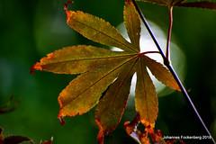 Blattgold (grafenhans) Tags: sony alpha 68 a68 alpha68 slt tamron 455675300 usd laub farben color bokeh grafenwald bottrop nrw natur