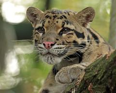 clouded leopard Duisburg 094A1025 (j.a.kok) Tags: leopard cloudedleopard luipaard panter panther nevelpanter neofelisnebulosa asia azie kat cat zoogdier dier mammal predator duisburg