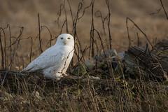 La maison de Monsieur le Harfang/ Snowy Owl's home (anniebevilacqua) Tags: hibou owl strigidé snowyowl harfangdesneiges buboscandiacus sainthubert fileds champs