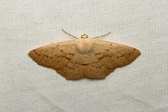 Sabulodes aegrotata (Omniverous Looper Moth) - Hodges # 6995 - Everett WA (Nick Dean1) Tags: sabulodesaegrotata omniverousloopermoth animalia arthropoda arthropod hexapoda hexapod insect insecta geometridae moth loopermoth looper
