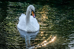 "SJ1_1602 - ""Seeing Stars..."" (SWJuk) Tags: swjuk uk unitedkingdom gb britain england lancashire burnley home canal leedsliverpoolcanal straightmile water ripples light sunlight sunburst swan adultswan 2018 sep2018 autumn nikon d7200 nikond7200 18300mm rawnef lightroomclassiccc reflections"