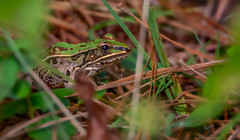 Southern Leopard Frog (AnthonyVanSchoor) Tags: anthonyvanschoor maryland usa