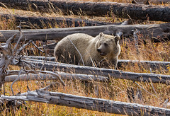 Dances with 'woods' (ChicagoBob46) Tags: grizz grizzly grizzlybear bear yellowstonenationalpark yellowstone nature wildlife coth5 ngc npc