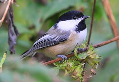 black-capped chickadee eating giant ragweed seeds near Vernon Springs IA 653A2294 (lreis_naturalist) Tags: blackcapped chickadee eating giant ragweed seeds vernon springs howard county iowa larry reis