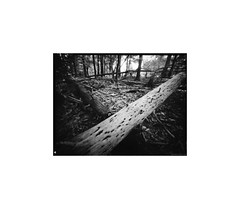 Crossed Logs - Take II (LUW_0018) (masinka) Tags: etbtsy pinhole photography analog direct positive original lensless crossed logs woods outdoors blackandwhite bw monochrome orchardpark ny newyork chestnutridge forest