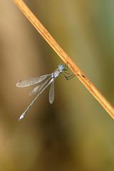 ooo (Helena Medunová) Tags: nature vysočina vážka cz czechrepublic damselflies insecta insects insect odonata radešín moravia