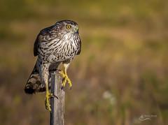 Coopers Hawk - Juvenile (Chris St. Michael) Tags: coopershawk hawk bird birdofprey nature naturephotography wildlife wildlifephotography