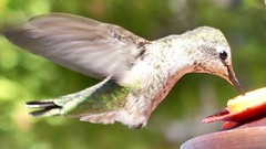"Anna's Hummingbird in Ramona, California on September 23, 2018 (Ramona Pioneer Girl) Tags: birdinflight birding bird feeder hummingbird anna's anna'shummingbird 500 views panasonic lumix camera photograph photography lens f28 picture pictures kodak ""kodak moment"" kodakmoment potd photo day trend trending current flickr nature natural moment moments candid usa 2018 water sky street historic town country east county clouds sun fun hobby interest interests ramona california photooftheday photographs fz300"