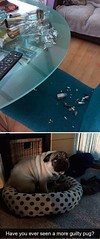 a more guilty pug (sivappa.technology) Tags: more guilty pug httpcrazytrendzoneblogspotcom201809amoreguiltypughtml dailyhahacom funny pictures httpsifttt2ovordihttpsifttt2qe45z3 httpwwwdailyhahacompicsamoreguiltypugjpg september 28 2018 1232pm