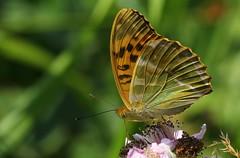 Silver-washed Fritillary -Argynnis paphia  - Near Wool (6) (ailognom2005) Tags: silverwashedfritillary argynnispaphia nearwool dorset dorsetwildlife butterflies butterfliesmothsandcaterpillars macro