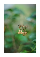2018/8/31 - 8/9 photo by shin ikegami. - SONY ILCE‑7M2 / New Jupiter 3+ 1.5/50 L39/M (shin ikegami) Tags: macro マクロ 紫陽花 flower 花 井の頭公園 吉祥寺 summer 夏 sony ilce7m2 sonyilce7m2 a7ii 50mm lomography lomoartlens newjupiter3 tokyo sonycamera photo photographer 単焦点 iso800 ndfilter light shadow 自然 nature 玉ボケ bokeh depthoffield naturephotography art photography japan earth asia