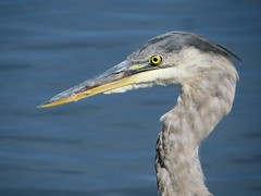 HeronPortrait (Shelley Penner) Tags: birds vancouverisland heron greatblue grey water blue portrait