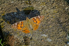 Painted Lady. (artanglerPD) Tags: painted lady butterfly afternoon sunshine