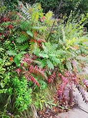 Anglų lietuvių žodynas. Žodis staghorn fern reiškia staghorn paparčio lietuviškai.