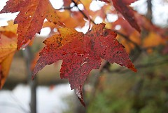 Fall leaf colours (Pwern2) Tags: fall fallcolours fallseason fallfoliage autumn autumnfoliage wolftrail wolf trail mapletrees mapleleaves trees forrest forrests red orange brown beautifulcolours gatineau gatineaupark discovergatineaupark eard eardleyescarpment ottawavalley nature macro