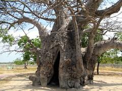 Massive Baobab (D-Stanley) Tags: srilanka baobab neduntheevu delft island