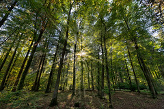 """""""Inside Forest"""" (helmet13) Tags: d800e raw nature insideforest forest wood trees deciduoustrees sunlight rays autumn fall silence peaceful colorful mixedforest conifertrees aoi peaceaward"""