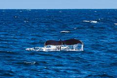 whale12Oct5-18 (divindk) Tags: anacapa anacapaisland channelislands channelislandsnationalpark humpbackwhale megapteranovaeangliae sanmiguelisland santabarbara santacruzisland santarosaisland underwater ventura blueocean cetacean diverdoug flukes marine marinemammal ocean reef sea underwaterphotography whale whaletail