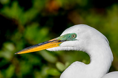 Great Egret Portrait (Linda Martin Photography) Tags: gatorland ardeaalba greategret us rookery orangecounty florida alittlebeauty coth naturethroughthelens specanimal coth5 ngc npc