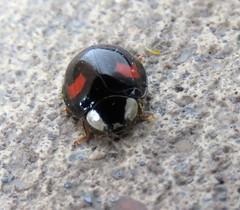Harlequin Ladybird (marksargeant57) Tags: coleoptera coccinellidae canonpowershotsx60hs ladybird harlequin beetle spectabilis