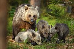 Foto de familia (Nicolás Merino) Tags: bear brownbear finland nature wildlife ursusarctos oso cub osopardo animal canon canonistas 1dx 200400 f4