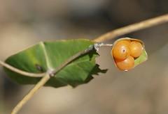 Evergreen Honeysuckle (Lonicera implexa) fruits ... (berniedup) Tags: estelier caussiniojouls evergreenhoneysuckle loniceraimplexa honeysuckle taxonomy:binomial=loniceraimplexa fruit plant