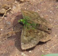 Gorgopas trochilus (Birdernaturalist) Tags: bolivia butterfly carcharodini hesperiidae lepidoptera pyrginae richhoyer skipper