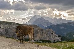 DSC_8333 (littleirons) Tags: panorama landscape lavaredo tre cime trecime alpi mucca animale montagne