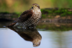 Giovane sparviere in ammollo. (Francesco Filippo Pellegrini) Tags: accipiter nisus sparviere sparrowhawk bagnetto water foresta natura bird animali uccelli rapace
