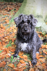Pebbles (pouncealot) Tags: dog miniatureschnauzer minischnauzer autumn cute awww orange